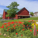 Bright red flowers in front of a barn