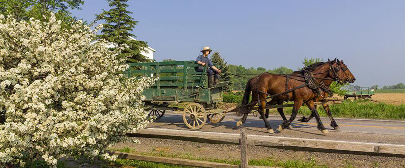 Horses pulling a buggy in Amish Country Ohio
